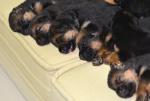 Filhotes 15 dias